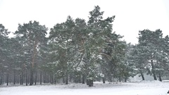 Snowstorm blizzard nature in woods snowing winter, Christmas tree and pine Stock Footage