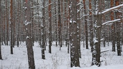 Dry trunks of pine christmas tree winter forest landscape of wild nature Stock Footage