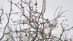 Tree sparrow, passer montanus Stock Footage