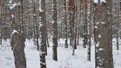 Dry trunks of pine christmas tree winter forest nature landscape of wild Stock Footage