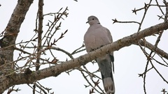 Mourning Dove turtledove bird Zenaida macroura on tree branch bird Stock Footage