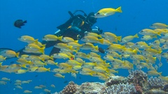 Underwater videographer, shooting a flock of snappers fish. Stock Footage