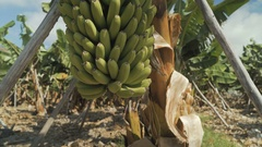 Ripe bunch of bananas on a branch Stock Footage