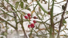 Wild rose red berry bush and berries covered with snow frost the nature winter Stock Footage