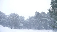 Snowstorm the woods blizzard snowing nature winter, christmas tree and pine Stock Footage