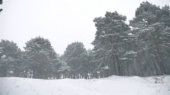 Snowstorm the woods snowing blizzard nature winter, christmas tree and pine Stock Footage