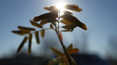 Young branch of a tree swaying in the wind silhouette sunlight glare of the sun Stock Footage