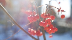 Rowan branch red berries nature winter snow on a blue background Stock Footage