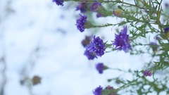 Purple flowers in the snow winter nature landscape Stock Footage