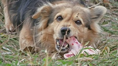 Dog eats a piece of meat with outdoor bone Stock Footage