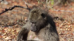 Sitting baboon yells in sun Stock Footage