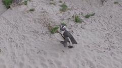 Slow motion penguin walks on sand Stock Footage
