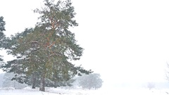 Beautiful blizzard christmas tree in winter nature landscape in late evening in Stock Footage