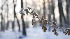 Frozen oak branch in the woods in the snow nature landscape sunlight winter Stock Footage