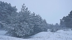 Beautiful christmas tree nature in blizzard winter landscape in late evening in Stock Footage