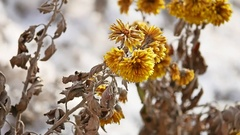 Yellow dry flowers swaying in the wind winter nature Stock Footage