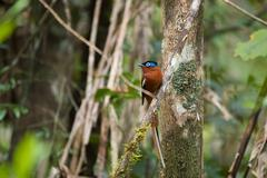 Madagascar Paradise-flycatcher, Terpsiphone mutata Stock Photos