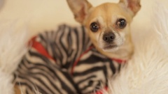 Little dog looking attentively at camera Stock Footage