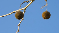 Sycamore Seeds Against Clear Blue Sky on Barren Branches, 4K Stock Footage