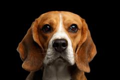 Beagle dog on isolated black background Stock Photos