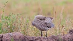 Eurasian Curlew. Feeding birds on a summer morning. Stock Footage
