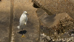 Snowy Egret Stands on Boulder, 4K Stock Footage
