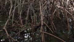Sanibel Island Mangroves Stock Footage