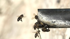 Closeup of bees drinking water in pipe Stock Footage