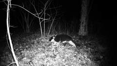 Cat walk in a dark wood in the night. Full HD high definition 1080p domesti.. Stock Footage