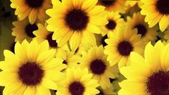 Flower background Stock Footage