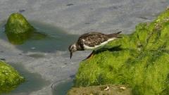 Sandpipers Eating on Algae-Covered Rocks, 4K Stock Footage