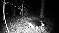 Black and white domestic cat eats food in the night in a forest. FullHD 1080p Stock Footage