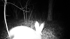 Hare (lepus or rabbit) walk in a dark wood in the night. Stock Footage
