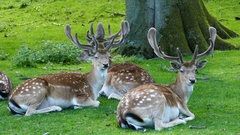 Herd of deers laying next to a tree Stock Footage