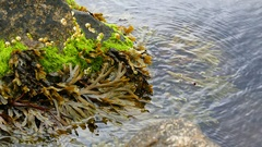 Seaweed on a rock in a lake Stock Footage