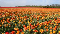 Tulip fields in Holland,  dolly shot over red and yellow  tulips, Stock Footage
