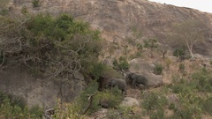 African Elephants (Loxodonta africana) foraging against cliff, walking over Stock Footage