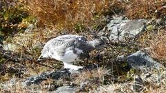 Ptarmigan bird eating seeds from a plant at Pallas-Yllästunturi National Park Arkistovideo