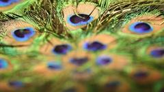 Peacock feather closeup Stock Footage