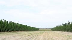 Ripe hop plants growing in the hop field Stock Footage