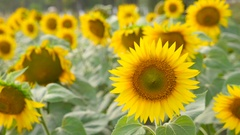 The lot of sunflowers swinging in the wind Stock Footage
