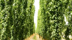 Ripe hop plants growing in the hop field on poles Stock Footage