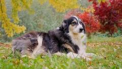 Most adult Shepherd is in autumn garden Stock Footage