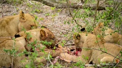 Lioness with 4 subadult cubs feeding Stock Footage