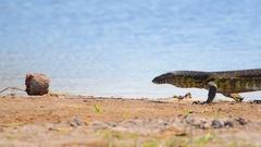 Nile Monitor - Khwai, Botswana Stock Footage