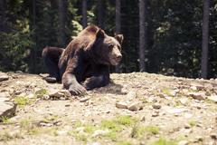 Predatory brown grizzly bear in the wild world Kuvituskuvat