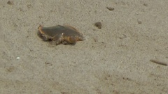 Cantor's Giant Softshell Turtle, Cambodia Stock Footage