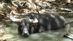 Water buffalo, Rinca, Indonesia. Stock Footage