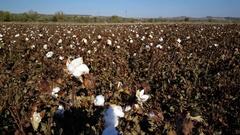 Field of ripe cotton flower plants Stock Footage
