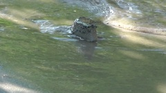Mudskippers, Seraya Island, Indonesia. Stock Footage